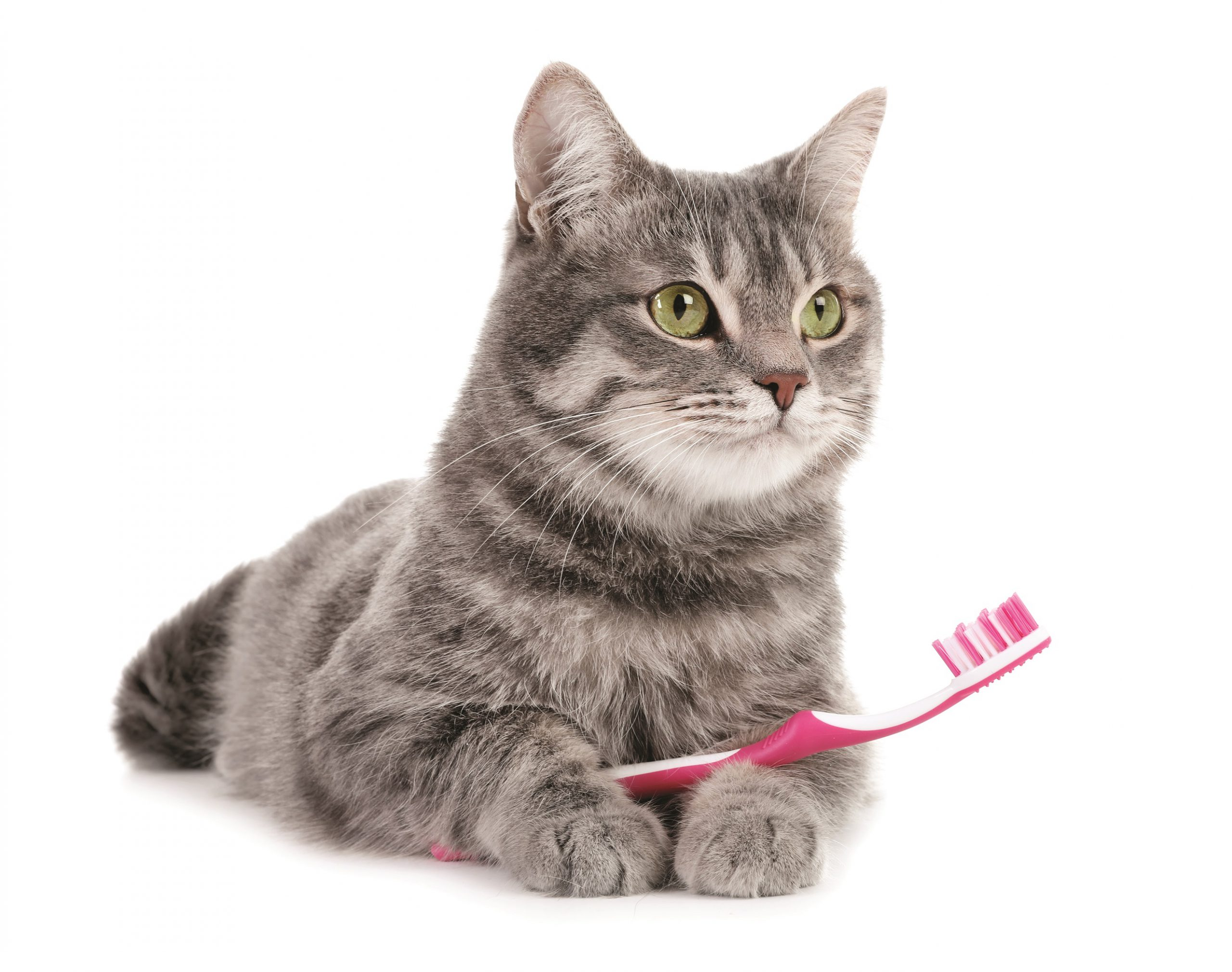 A cat holding a toothbrush lol