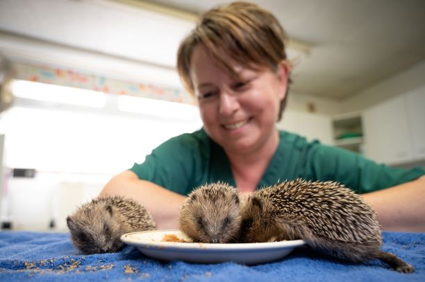 Meet Tommy, Chanel, Rebecca and Marilyn – the baby hedgehogs saved by vet nurse